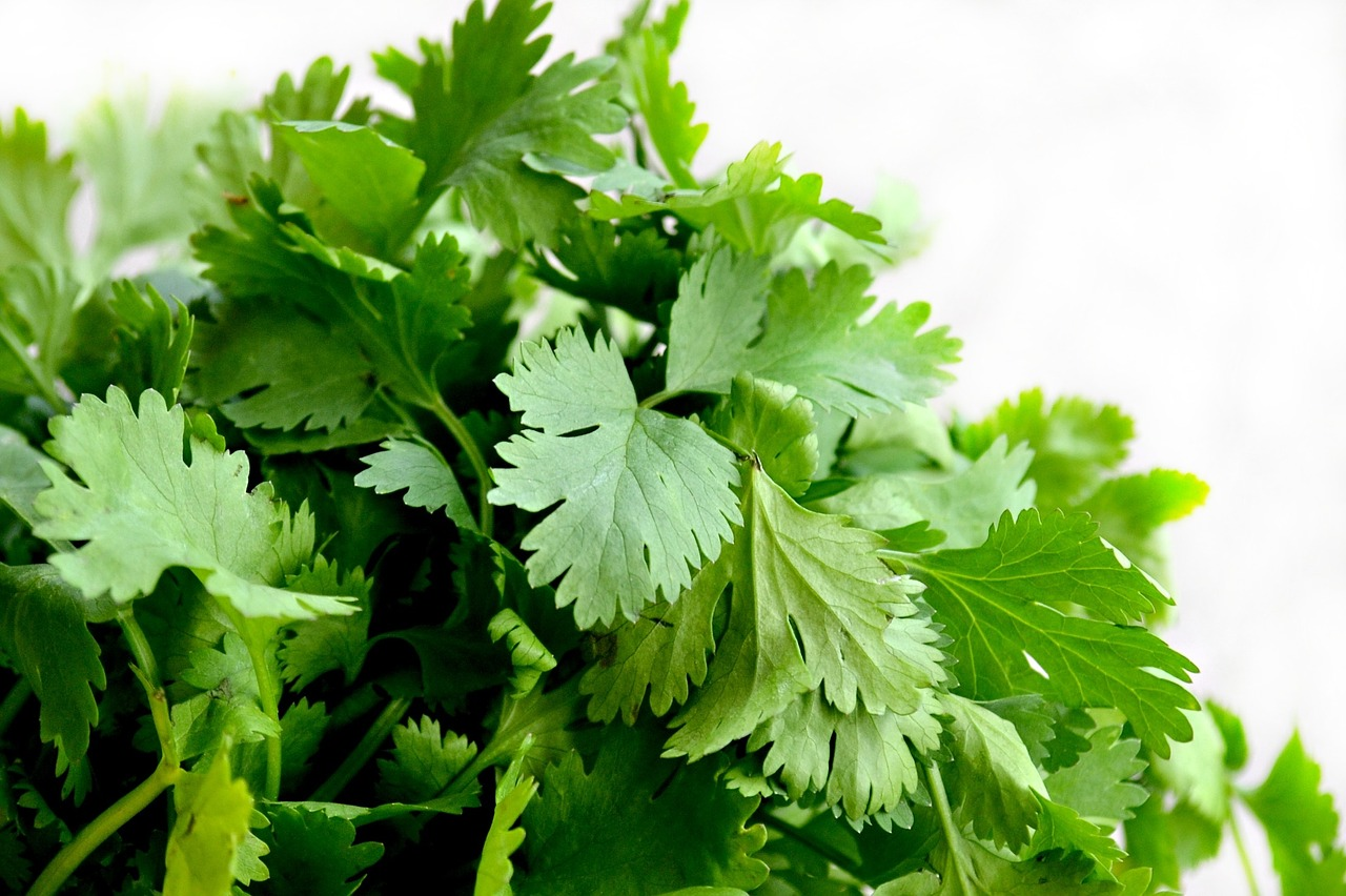 Coriander leaves and weight loss